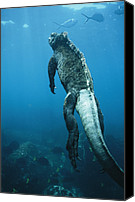 Galapagos Islands Canvas Prints - A Marine Iguana Swims Underwater Canvas Print by Nick Caloyianis