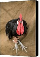 Adult Only Canvas Prints - A Minorca Rooster Is Held Canvas Print by Joel Sartore