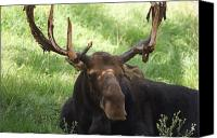 Bull Moose Canvas Prints - A Moose Canvas Print by Ernie Echols
