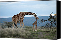 New World Canvas Prints - A Mother Giraffe Nuzzles Her Baby Canvas Print by Pete Mcbride
