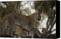 Leopards Canvas Prints - A Mother Leopard Playing Canvas Print by Beverly Joubert
