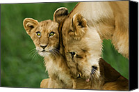 Lion Digital Art Canvas Prints - A mothers Love Canvas Print by Julie L Hoddinott