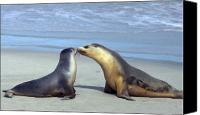 Seal Canvas Prints - A Mothers Love Canvas Print by Mike  Dawson