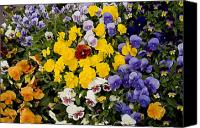 Albuquerque Canvas Prints - A Multi-colored Bed Of Pansies In Old Canvas Print by Stephen St. John