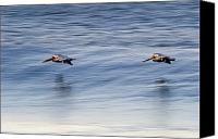 And Threatened Animals Photography Canvas Prints - A Pair Of Brown Pelicans Flying Canvas Print by Rich Reid