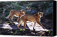 A Pair Of Cheetah\\\