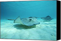 Grand Cayman Canvas Prints - A Pair Of Southern Stingrays Swim Canvas Print by Raul Touzon