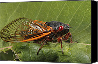 Cicada Canvas Prints - A Periodical Cicada Or 17 Year Cicada Canvas Print by George Grall