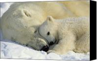 Colors Photo Canvas Prints - A Polar Bear And Her Cub Napping Canvas Print by Norbert Rosing