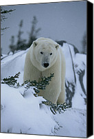 Twilight Views Canvas Prints - A Polar Bear In A Snowy, Twilit Canvas Print by Norbert Rosing