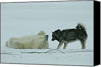 Snow Scenes Photo Canvas Prints - A Polar Bear Lolls On His Back While Canvas Print by Norbert Rosing
