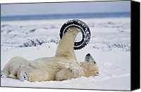 And Threatened Animals Photography Canvas Prints - A polar bear plays with Canvas Print by Norbert Rosing