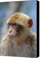 Humanlike Canvas Prints - A portait of a monkey in Gibraltar Canvas Print by Perry Van Munster