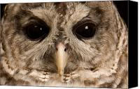Barred Owl Canvas Prints - A Portrait Of A Barred Owl Strix Varia Canvas Print by Joel Sartore