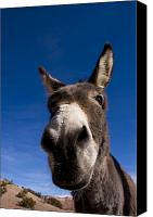 Burro Canvas Prints - A Portrait Of A Burro In New Mexico Canvas Print by Ralph Lee Hopkins
