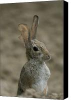Injured Canvas Prints - A Rabbit From The Omaha Zoo Canvas Print by Joel Sartore