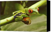 Red-eyed Frogs Canvas Prints - A Red-eyed Frog Perches On A Stem Canvas Print by Steve Winter