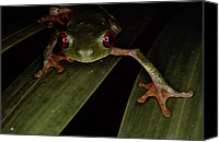 Red-eyed Frogs Canvas Prints - A Red Eyed Tree Frog, Agalychnis Canvas Print by Medford Taylor