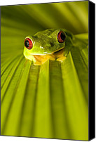 Red-eyed Frogs Canvas Prints - A Red-eyed Tree Frog Sitting On A Palm Canvas Print by Roy Toft
