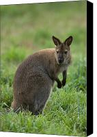 Wallaby Canvas Prints - A Red-necked Wallaby At The Omaha Zoo Canvas Print by Joel Sartore