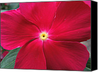 Photographs With Red. Canvas Prints - A Red Vinca Flower Canvas Print by Chad and Stacey Hall