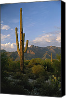 Cereus Canvas Prints - A Saguaro Cactus In The Sonoran Desert Canvas Print by Todd Gipstein