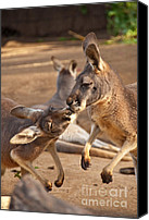 Kangaroo Canvas Prints - A Show of Respect Canvas Print by Bob and Nancy Kendrick