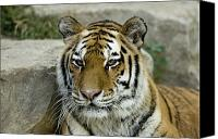 Henry Doorly Zoo Canvas Prints - A Siberian Tiger At The Henry Doorly Canvas Print by Joel Sartore