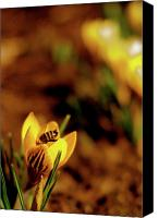 Crocus Canvas Prints - A Sign of Spring Canvas Print by Rona Black