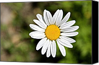 Aster Canvas Prints - A Single Daisy Canvas Print by Karon Melillo DeVega