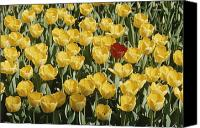 Chromatic Contrasts Canvas Prints - A Single Red Tulip Among Yellow Tulips Canvas Print by Ted Spiegel