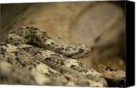 Henry Doorly Zoo Canvas Prints - A Speckled Rattlesnake At The Henry Canvas Print by Joel Sartore