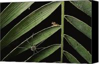 Red-eyed Frogs Canvas Prints - A Spider Stalks A Young Red-eyed Tree Canvas Print by George Grall