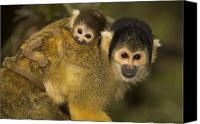 Battersea Canvas Prints - A squirrel monkey baby Canvas Print by Nicole Duplaix