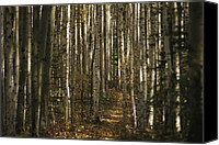 Autumn Scenes Canvas Prints - A Stand Of Birch Trees Show Canvas Print by Raymond Gehman
