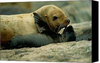 And Threatened Animals Photography Canvas Prints - A Steller Sea Lion Cow Eumetopias Canvas Print by Joel Sartore