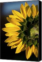 Rear Canvas Prints - A Sunflower Close-up, Rear View Canvas Print by Tobias Titz