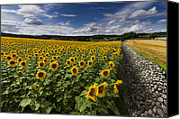 Cobbles Canvas Prints - A Sunny Sunflower Day Canvas Print by Debra and Dave Vanderlaan