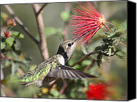 Bottle Brush Photo Canvas Prints - A Taste for Nectar  Canvas Print by Saija  Lehtonen