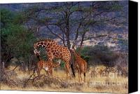 Suckling Canvas Prints - A Tender Moment Canvas Print by Sandra Bronstein