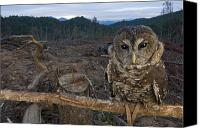 Disasters Canvas Prints - A Threatened Northern Spotted Owl Canvas Print by Joel Sartore