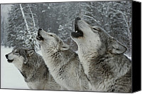 Winter Canvas Prints - A Trio Of Gray Wolves, Canis Lupus Canvas Print by Jim And Jamie Dutcher