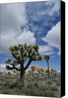 Joshua Trees Canvas Prints - A View Of Joshua Trees And Rock Canvas Print by Marc Moritsch