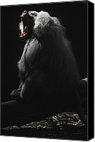 Jaws Canvas Prints - A Virile Male Sacred Baboon Roars Canvas Print by Jason Edwards