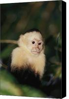 Monkeys Canvas Prints - A White-faced Monkey Cebus Capucinus Canvas Print by Paul Nicklen