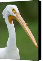 White Pelican Canvas Prints - A White Pelican Pelecanus Canvas Print by Joel Sartore