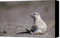 Prairie Dog Photo Canvas Prints - A White Prairie Dog Demonstrates Bad Canvas Print by Joel Sartore