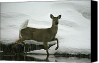 Chromatic Contrasts Canvas Prints - A White-tailed Deer Paces The Edge Canvas Print by Michael S. Quinton