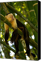 Monkeys Canvas Prints - A White-throated Capuchin Monkey Canvas Print by Roy Toft