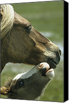 Assateague Canvas Prints - A Wild Pony Foal Nuzzling Its Mother Canvas Print by James L. Stanfield